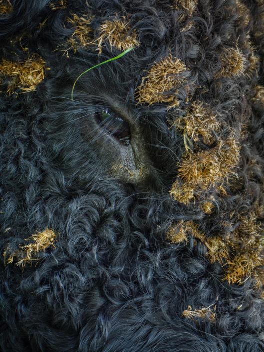 Galloway | Mathijs Frenken | Natuurfotograaf | Natuurfotografie