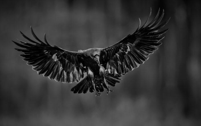 Raaf | Mathijs Frenken | Natuurfotograaf | Natuurfotografie
