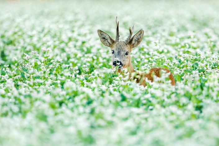Ree | Mathijs Frenken | Natuurfotografie